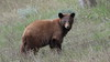 Cinnamon Black Bear (Hammerchewer) Tags: blackbear bear cinnamon wildlife outdoor animal yellowstone