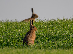 DSC5251  Brown Hare.. (jefflack Wildlife&Nature) Tags: brownhare hare hares animal animals wildlife farmland fields crops heathland hedgerows moorland meadows countryside norfolk nature jefflackphotography