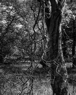 Tree with hanging branches in sunlight (Hyons Wood)