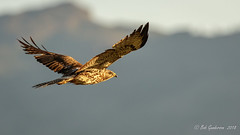 Swainson's Hawk (Bob Gunderson) Tags: birds birdsofprey buteoswainsoni buteos california dysonlane northerncalifornia plumascounty sierras swainsonshawk