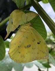 Cloudless Sulpher (Adam J Skowronski) Tags: cloudless butterfly cloudlesssulphur sulphur