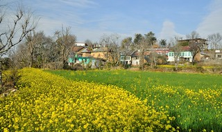 The village and the mustard field