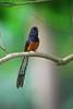 白腰鵲鴝 (catchien) Tags: taiwan 白腰鵲鴝 copsychus malabaricus 長尾知渣