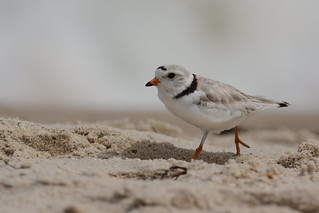 Piping Plover (M)