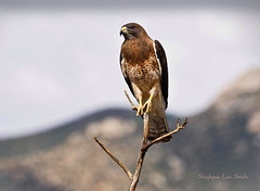 Swainson's Hawk (slsjourneys) Tags: hawk swainsonshawk raptor
