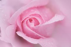 sensualité (christophe.laigle) Tags: rose pluie christophelaigle fleur macro pink parcdelaroseraie nature flower fuji natural nantes drops xpro2 xf60mm gouttes