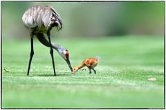 Sandhill Crane (RKop) Tags: sandhillcranes apollobeach raphaelkopanphotography d500 nikkor600f4evr 14xtciii handheld nikon wildinurbansetting