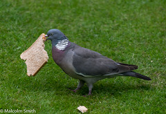 I Really Wanted A Sandwich (M C Smith) Tags: pigeon bread eating grass pentax k3ii slice white purple brown black