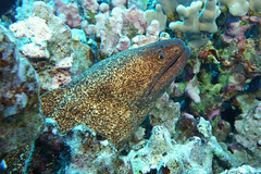 abiding (BarryFackler) Tags: eel gymnothoraxflavimarginatus yellowmarginmoray fish puhipaka moray benthic vertebrate gflavimarginatus yellowmarginmorayeel morayeel honaunau honaunaubay hawaiidiving hawaiicounty hawaiiisland hawaii hawaiianislands westhawaii water ecology ecosystem reef tropical undersea underwater pacificocean polynesia pacific organism ocean outdoor island marine marineecology marinebiology marinelife marineecosystem nature bigisland bay being barronfackler biology bigislanddiving barryfackler zoology creature life coralreef kona konacoast konadiving fauna dive diver diving southkona sea scuba seacreature sealife sealifecamera sandwichislands saltwater coral