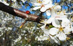 Touch of Spring 21 (rimasjank) Tags: ladybird ladybug blossom tree cherry