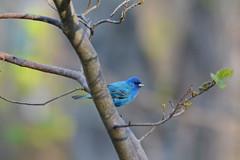 Indigo Bunting (av8s) Tags: indigobunting bunting birds perchingbirds songbirds nature wildlife pennsylvania pa photography nikon d7100 sigma 120400mm