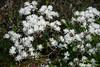 Rhododendron (Ericaceae) (Woodmen19) Tags: russia nizhninovgorod botanicalgarden nature flora plants flower trees spring springtime 2018 may rhododendron ericaceae azalea