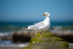 SEA GULL (MAICN) Tags: 2018 natural norderney water nature wasser natur seagull seascape northsea möwe nordsee sea