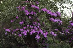 spring evening (Amanda Emilio) Tags: backyard garden spring rhododendrons evening night dusk plant nature canont6 flora