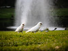 Little Corella (Daveography.ca) Tags: grass australia fountain littlecorella bird cockatoo macquarie green sydney macquarieuniversity park nsw