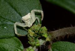Thomisus sp (zimbart) Tags: gorongosanationalpark inselbergs mozambique mtbunga africa fauna arachnida araneae thomisus arthropoda thomisidae