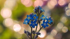 Dream - 5253 (ΨᗩSᗰIᘉᗴ HᗴᘉS +22 000 000 thx) Tags: dream soft blur flora flower blue flou bokeh hensyasmine namur belgium europa aaa namuroise look photo friends be wow yasminehens interest intersting eu fr greatphotographers lanamuroise tellmeastory flickering