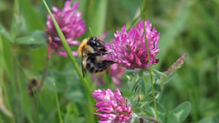 Common Carder (Nick:Wood) Tags: nature wildlife bee insect commoncarder bombuspascuorum prioryfields naturereserve warwickshirewildlifetrust solihull birmingham redclover