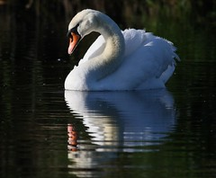Swan (Cygnini) (Geoff Head*) Tags: swan naturephotography somersetlevels somerset hamwall rspbhamwall birdphotography