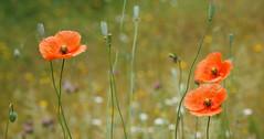 Mohn (waynorth) Tags: madrid spanien spain mohn blüten blumenwiese sommer jahreszeiten wiese landschaft