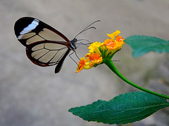 Greta oto (Para Carmen) (josuneetxebarriaesparta) Tags: gretaoto mariposadecristal glasswingbutterfly tximeleta pinpilinpausa mariposa lantana flor flower lore