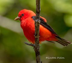 Scarlet Tanager (Lindell Dillon) Tags: scarlettanager neotropical nature bird birding fortmorgan alabama perididokey lindelldillon