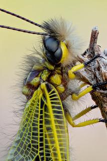 Libelloides longicornis | Langfühleriger Schmetterlingshaft