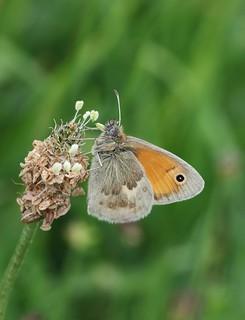 Small heath ~ Coenonympha pamphilus {explored}
