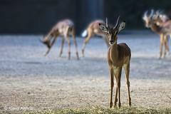Impala - 09061801 (Klaus Kehrls) Tags: impala tiere wild zoo