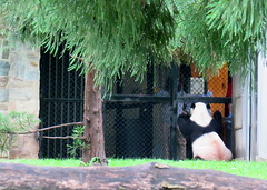 Mei's negotiating with her keepers (heights.18145) Tags: visitthezoo national zoo washingtondc animals pandas fun cute bamboo beibei tiantian meixiang