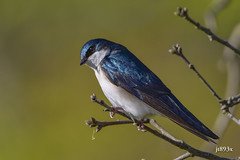 Tree Swallow (jt893x) Tags: 150600mm bird d500 jt893x male nikon nikond500 sigma sigma150600mmf563dgoshsms swallow tachycinetabicolor treeswallow thesunshinegroup coth alittlebeauty coth5 ngc
