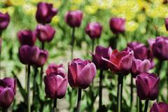 Tulips pixel bender 2018 (hz536n/George Thomas) Tags: 2018 canon canon5d ef24105mmf4lisusm flora holland michigan spring cs6 flower nik tulip tulipa pixelbender adobelabs copyright