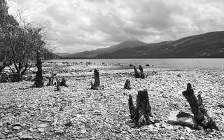 Old Trees, Loch Rannoch