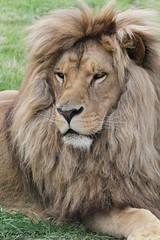 Lion de l'Angola (Passion Animaux & Photos) Tags: lion angola panthera leo parc auxois france