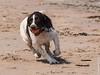 Izzy (mehunter) Tags: izzy lumixgvario100300f4056 panasoniclumixg7 springerspaniel yellowcraigs beach dog fauna mammal sand