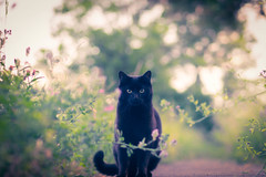 black.cat (_andrea-) Tags: cat sonya7m2 carlzeiss mount lowpov objektiv outdoor planart1450 andrea images light bokeh bokehshots bokehjunkie bokehs