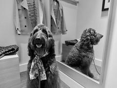 Benni and I go shopping (Bennilover) Tags: shopping dog dogs sanclemente outletsatsanclemente jacket posh fun sales bargains cookies patting attention labradoodle benni