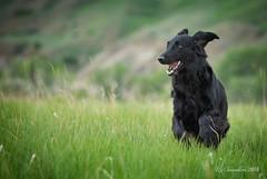 Spring Puffin (Blazingstar) Tags: puffin flatcoated retriever dog black green spring grass running