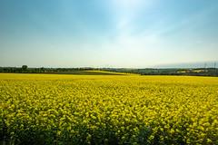 Rapsfelder in Sachsen (Peter Goll thx for +7.000.000 views) Tags: 2018 sachsen urlaub erlangen germany raps felder field gelb yellow