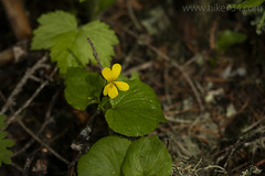 "Round-leaved Violet • <a style=""font-size:0.8em;"" href=""http://www.flickr.com/photos/63501323@N07/40734679580/"" target=""_blank"">View on Flickr</a>"