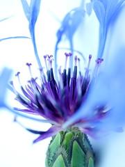 Blue Dervish (BeMo52) Tags: asteraceae centaurea flockenblume flora garten macro makro natur nature