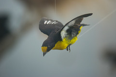 Little dive-bomber (quinet) Tags: 2017 canada ontario präparatoren rom royalontariomuseum toronto empaillage museum musée naturalhistory taxidermy 124