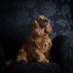 Millie (ToriAndrewsPhotography) Tags: cocker spaniel pet portrait studio photography andrews tori