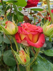 Roses, garden (sergrossov) Tags: nature beautiful light tree color art fall forest germany autumn garden europe plant field outdoor closeup fine botany amazing weather tranquility season calm rural countryside peace perspective agr flora green russia rose roses flowers flower butterfly macr macro grass blosso