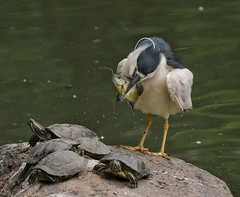Dinner (steveedreff) Tags: wildlife rock animals naturephotography nature food dinner eat water fish turtles bird heron blackcrownnightheron