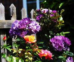 DSC_0167 (PeaTJay) Tags: nikond750 sigma reading lowerearley berkshire macro micro closeups gardens outdoors nature flora fauna plants flowers rose roses rosebuds