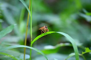 食蟲虻 (黃腳)