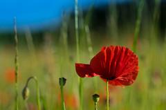 On a summer meadow II (VintageLensLover) Tags: mohn mohnblumen wiese feld sommer blumenwiese bokeh bokehlicious dof schärfentiefe schärfeverlauf sonya7ii fe24105f4 eifel rheinlandpfalz
