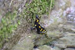 Feuersalamander (Aah-Yeah) Tags: feuersalamander salamander schwanzlurch caudata weibchen achental chiemgau bayern