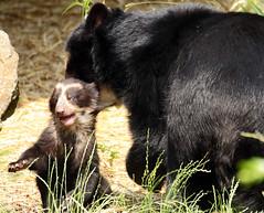 spectacled bear antwerpen BB2A1497 (j.a.kok) Tags: bear beer brilbeer spectacledbear animal antwerpen mammal zoogdier dier predator zuidamerika southamerica